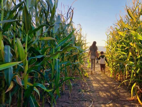 Children in the Corn Maze
