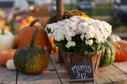 Mums and Pumpkins for sale